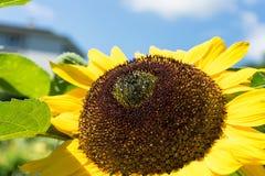 Cabeza del girasol con la abeja con el cielo azul Imágenes de archivo libres de regalías