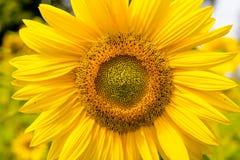Cabeza del girasol en campo iluminado por el sol Imágenes de archivo libres de regalías