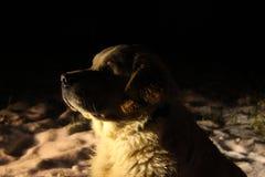 Cabeza del golden retriever en la oscuridad Fotos de archivo libres de regalías