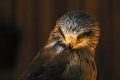 Cabeza del halcón Fotos de archivo libres de regalías