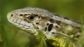 Cabeza del lagarto en la hierba en primer almacen de metraje de vídeo
