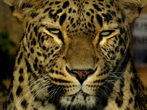 Cabeza del leopardo Foto de archivo