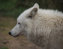 Cabeza del lobo de la Bahía de Hudson Imagen de archivo