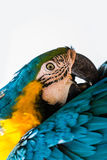 Cabeza del loro del Macaw Foto de archivo libre de regalías