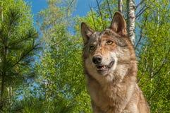 Cabeza del lupus de Grey Wolf Canis contra abedul y el cielo azul Imagen de archivo