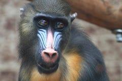 cabeza del mono del babuino fotografía de archivo