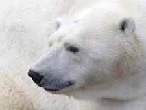 Cabeza del oso polar Fotos de archivo