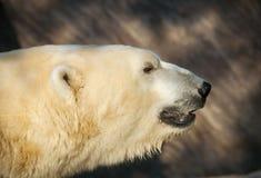 Cabeza del oso polar - maritimus del Ursus Foto de archivo