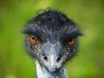 Cabeza del pájaro del emú Fotografía de archivo
