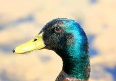 Cabeza del pato Fotografía de archivo libre de regalías