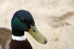 Cabeza del pato silvestre masculino Fotografía de archivo libre de regalías
