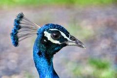 Cabeza del pavo real imágenes de archivo libres de regalías