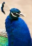 Cabeza del pavo real Fotografía de archivo libre de regalías