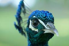 Cabeza del pavo real Imagen de archivo