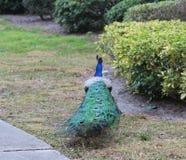 Cabeza del pavo real, primero plano, colorido, naturaleza, foto de archivo libre de regalías