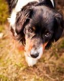 Cabeza del perro de montaña de Bernese en jardín pet Fotografía de archivo