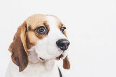 Cabeza del perro tricolor del beagle en el fondo blanco Imagen de archivo libre de regalías