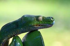 Cabeza del pitón verde del árbol, cabeza del primer, serpiente principal Imagen de archivo