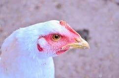 Cabeza del pollo Foto de archivo