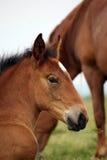 Cabeza del potro del caballo de Brown Fotografía de archivo libre de regalías