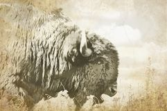 Cabeza del primer de un búfalo del toro que sacia con la lengua que se pega hacia fuera en la hierba alta Prarie del ejemplo de O Imagen de archivo libre de regalías