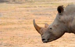 Cabeza del rinoceronte en la región árida de África Imagen de archivo