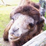 Cabeza del ` s del camello en cierre para arriba Imagen de archivo