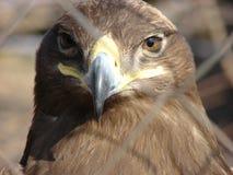Cabeza del ` s de Eagle imagen de archivo libre de regalías