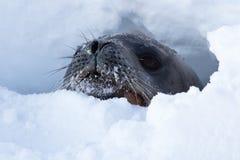 Cabeza del sello de Weddell que mira fuera de los agujeros en el hielo del Anta Imagen de archivo libre de regalías
