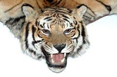 Cabeza del tigre - cazador del trofeo fotografía de archivo libre de regalías