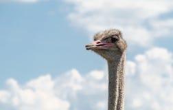 Cabeza del varón de la avestruz Imágenes de archivo libres de regalías