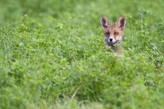 Cabeza del zorro del bebé Fotos de archivo