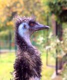 Cabeza divertida de la avestruz Imágenes de archivo libres de regalías