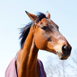 Cabeza elegante de la castaña o de caballo de bahía Fotografía de archivo