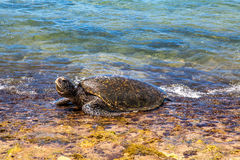 Cabeza elevadora de la tortuga de mar verde Imagen de archivo libre de regalías