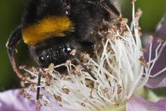 Cabeza en la opinión una abeja de la miel Fotografía de archivo