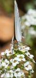Cabeza encendido a una mariposa Fotografía de archivo libre de regalías
