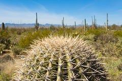 Cabeza espinosa del cactus del Saguaro en el Saguaro NP Tucson A Imágenes de archivo libres de regalías