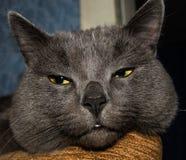 Cabeza gris del gato Foto de archivo