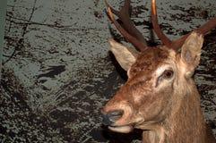 Cabeza hermosa de un ciervo contra un fondo especial Foto de archivo libre de regalías