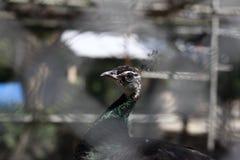 Cabeza hermosa del pavo real Imagen de archivo