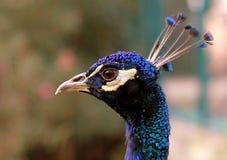 Cabeza hermosa del pavo real Imágenes de archivo libres de regalías