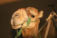 Cabeza iluminada por el sol sonriente del camello en desierto Foto de archivo libre de regalías