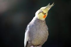 Cabeza inclinable del Cockatiel Imagen de archivo