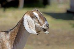 Cabeza lateral del perfil de la cabra de Nubian Fotografía de archivo