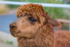 Cabeza linda de la alpaca del bebé de Brown foto de archivo libre de regalías