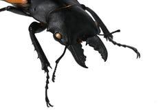 Cabeza, mandíbula y piernas delanteras del escarabajo masculino grande del Lucanidae de la familia del escarabajo de macho, este  imagen de archivo