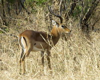 Cabeza masculina de la vista lateral del impala para arriba Foto de archivo