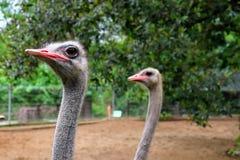 Cabeza Mini Zoo Kuantan 1 de la avestruz imágenes de archivo libres de regalías