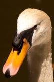 Cabeza mojada del cisne Imagen de archivo libre de regalías